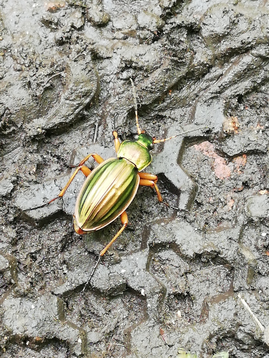 Insecte mon amour doré